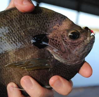 Jonathan Allred shows off one of many copper nose Blue Gill caught at 6-O Ranch
